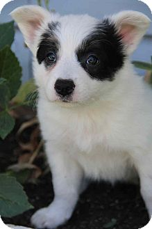 Australian Shepherd/Border Collie Mix Puppy for adoption in Yuba City, California - Bella Blue