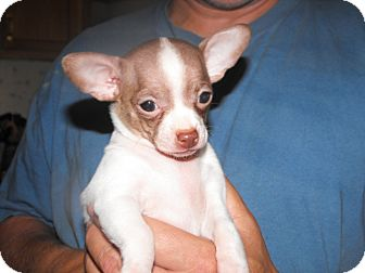Chihuahua/Chihuahua Mix Puppy for adoption in Wilminton, Delaware - Haylie