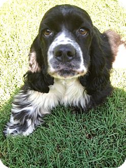 Cocker Spaniel Puppy for adoption in Newburgh, Indiana - Clever