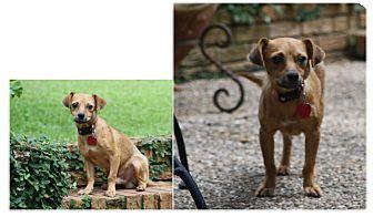 Chihuahua Mix Dog for adoption in Haughton, Louisiana - Cooper