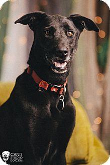 Labrador Retriever/Greyhound Mix Dog for adoption in Portland, Oregon - Callie Clover