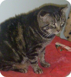 Domestic Shorthair Cat for adoption in Hamburg, New York - Tiggers