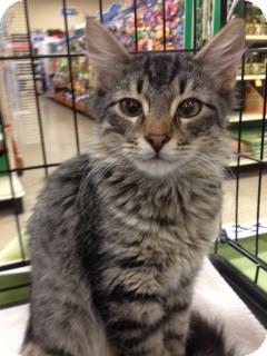 Maine Coon Kitten for adoption in Walker, Louisiana - Hector