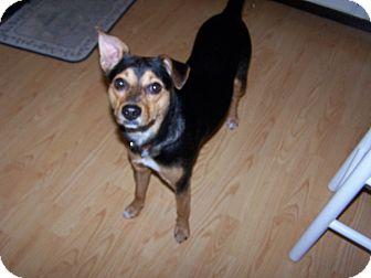 Fox Terrier (Smooth)/Schnauzer (Miniature) Mix Dog for adoption in Chewelah, Washington - Lily