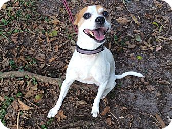 Rat Terrier Mix Dog for adoption in Coral Springs, Florida - Benji