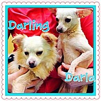 Adopt A Pet :: Darling - Los Angeles, CA