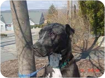 Great Dane Mix Dog for adoption in Litchfield, Connecticut - Randy