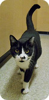 Domestic Shorthair Cat for adoption in Chattanooga, Tennessee - Syd