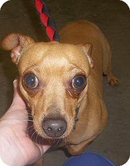 Miniature Pinscher Mix Dog for adoption in Rapid City, South Dakota - Chester