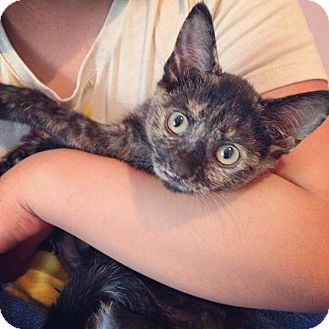 American Shorthair Kitten for adoption in Raleigh, North Carolina - Sage