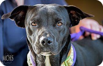 Labrador Retriever Mix Dog for adoption in Martinsville, Indiana - Blackjack