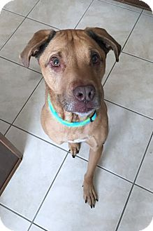 Labrador Retriever Mix Dog for adoption in Minneola, Florida - Brodie