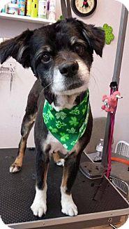 Australian Shepherd/Border Collie Mix Dog for adoption in Rathdrum, Idaho - Whaylen