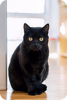 Domestic Shorthair Cat for adoption in East Hartford, Connecticut - Kishka (in CT)