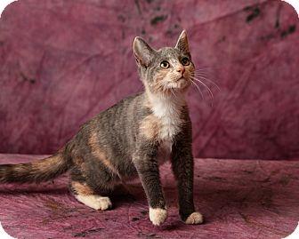 Calico Kitten for adoption in Harrisonburg, Virginia - Abby