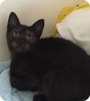 Domestic Shorthair Kitten for adoption in East Hanover, New Jersey - Puma
