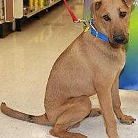 Rhodesian Ridgeback Mix Dog for adoption in Gilbert, Arizona - Jerome