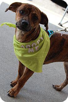 Feist/Dachshund Mix Puppy for adoption in Richmond, Virginia - Bunnie