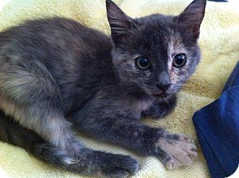 Domestic Shorthair Kitten for adoption in Brea, California - LITTLE STAR