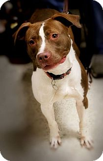 Pit Bull Terrier Mix Dog for adoption in Toledo, Ohio - Gracie