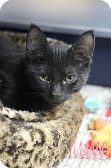 Domestic Shorthair Kitten for adoption in Carlisle, Pennsylvania - Titus