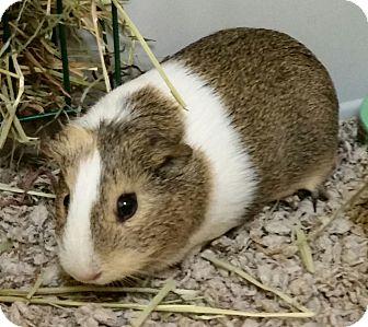 Guinea Pig for adoption in Fairfax, Virginia - Pixie