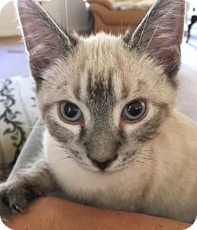 Siamese Kitten for adoption in Monroe, Georgia - SnuggleBug