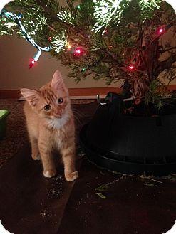 Domestic Longhair Kitten for adoption in Manhattan, Kansas - Fettuccine