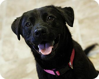 Labrador Retriever Mix Dog for adoption in East Hartford, Connecticut - Cherry-IN CT