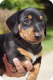 Dachshund Mix Puppy for adoption in West Nyack, New York - Spencer