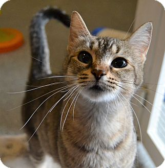 Domestic Shorthair Cat for adoption in Michigan City, Indiana - Mary Poppins