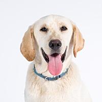 Labrador Retriever Dog for adoption in St. Louis Park, Minnesota - Collin