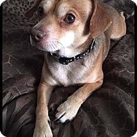 Adopt A Pet :: Duke - Painted Post, NY