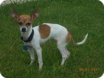 Chihuahua Puppy for adoption in haslet, Texas - Alejandra