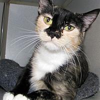 Calico Cat for adoption in Ruidoso, New Mexico - Nadia