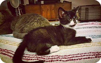 Domestic Shorthair Kitten for adoption in Brainardsville, New York - Leo