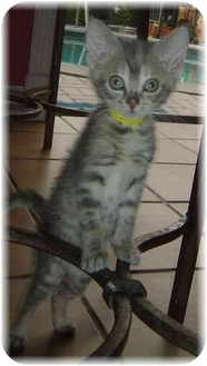 Calico Kitten for adoption in Naples, Florida - Dixie