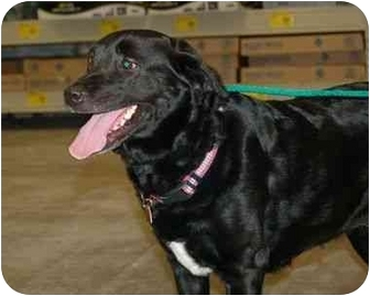 Labrador Retriever Mix Dog for adoption in Stafford, Virginia - Sunni
