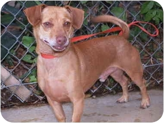Chihuahua Mix Dog for adoption in El Cajon, California - Barney