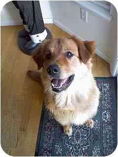 Golden Retriever Mix Puppy for adoption in Evergreen, Colorado - Joy
