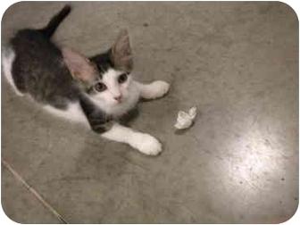 Domestic Mediumhair Kitten for adoption in San Diego, California - Sneezy