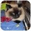 Photo 2 - Ragdoll Cat for adoption in Riverside, Rhode Island - Blossom