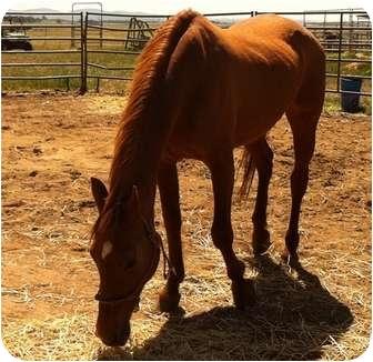 Quarterhorse/Arabian Mix for adoption in Sac, California - Shawnee