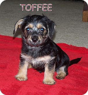 Terrier (Unknown Type, Small) Mix Puppy for adoption in Milford, New Jersey - Toffee