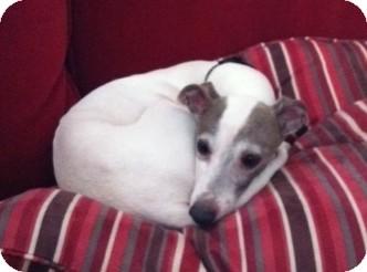 Italian Greyhound Dog for adoption in Wichita, Kansas - Stitch
