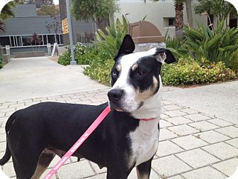 American Staffordshire Terrier/Border Collie Mix Dog for adoption in palm springs, California - Angel