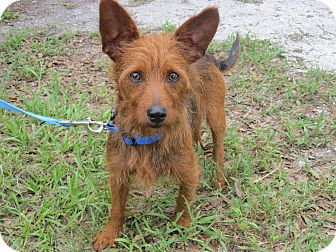 Terrier (Unknown Type, Small) Mix Dog for adoption in Bradenton, Florida - Scamper