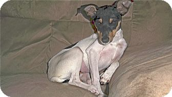 Rat Terrier/Chihuahua Mix Puppy for adoption in Corona, California - MISSY