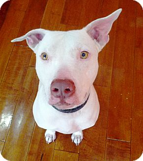 American Pit Bull Terrier/American Pit Bull Terrier Mix Dog for adoption in Phoenix, Arizona - Odie~Courtesy Post