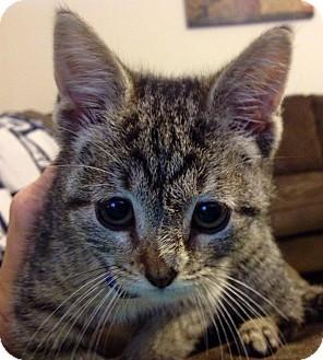 Domestic Shorthair Kitten for adoption in Marietta, Georgia - Delaney